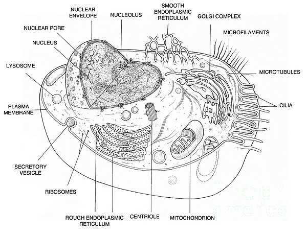 Animal Cell Diagram Coloring Page Apigramcom