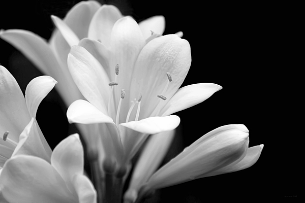 Clivia Flowers Black And White Photograph by Jennie Marie Schell Clivia Photograph   Clivia Flowers Black And White by Jennie Marie Schell