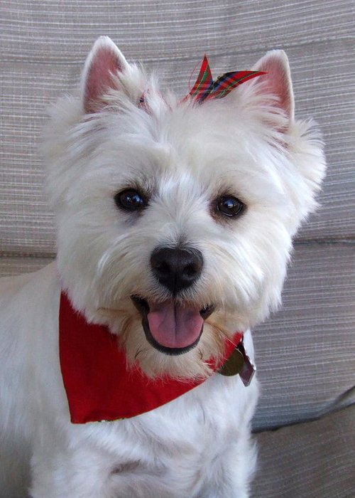 Happy Westie Greeting Card For Sale By Philip Hall