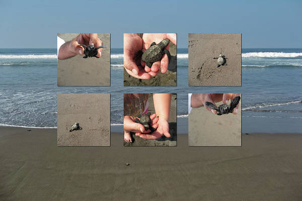 Baby Turtles Art Print featuring the photograph Releasing Baby Turtles Into Water - Collage by Tatiana Travelways