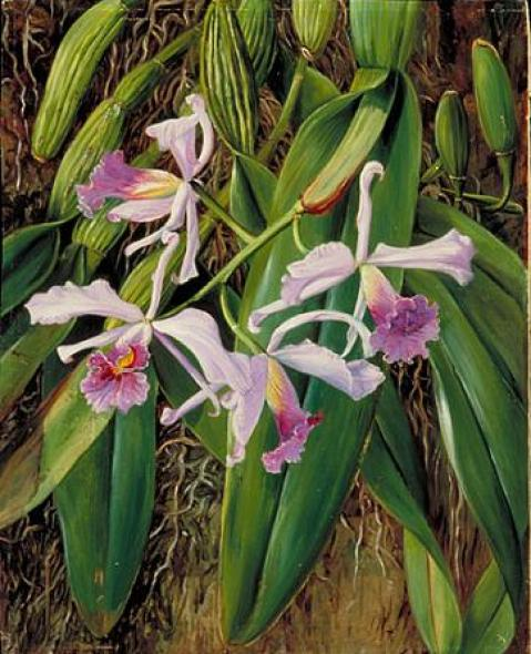 Brazil-orchid-paintings