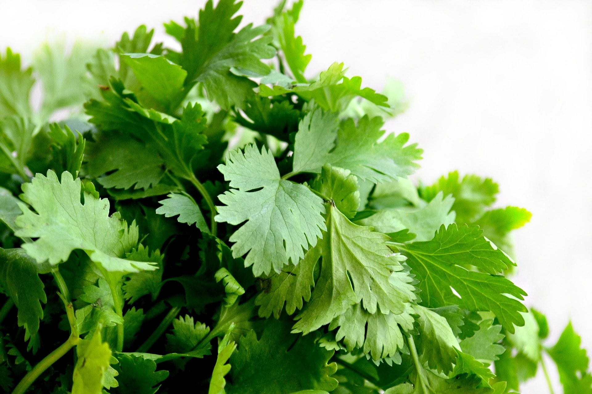 coriander learn about its uses leafs and seeds