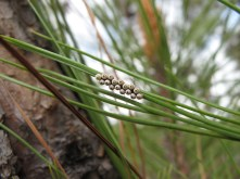 Insect eggs on a pine needle in the mountain woods