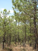 The tombs are in the beautiful Pinus yunnanensis forest on the mountain.