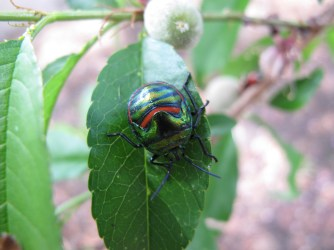 Harlequin Beetle on a peach leaf at the studio