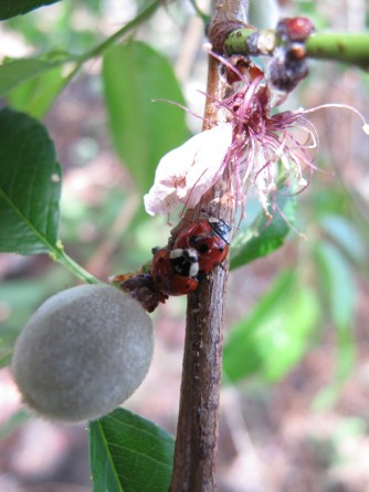 Lady Beetles mating on a peach stem at the studio