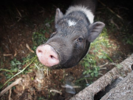 Not so little pig, saying hello.