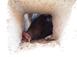 Little pig says hi through her window.