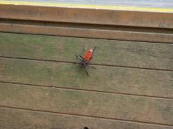 Cute red beetle.