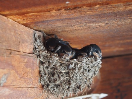 Baby swallows!