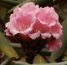 EricaceaeRhododendron beesianum