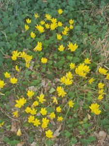 yellow blooming