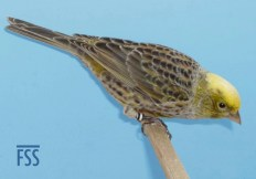 Clear cap silver female Lizard canary