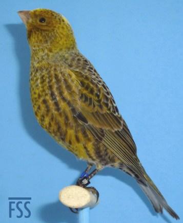 Broken cap silver male Lizard canary