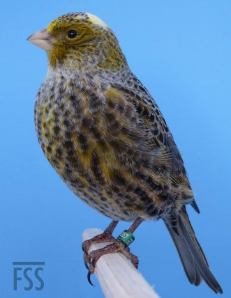 Silver female Lizard canary 2014