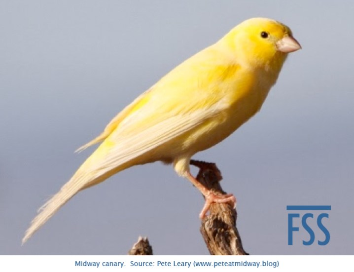 Midway Island canary