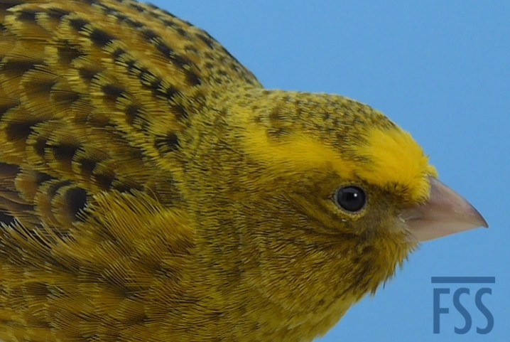 Broken cap gold Lizard canary crown