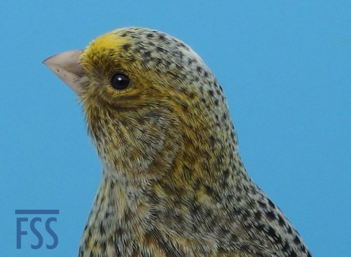 Broken cap female silver canary crown