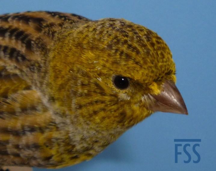 Non cap silver male canary crown