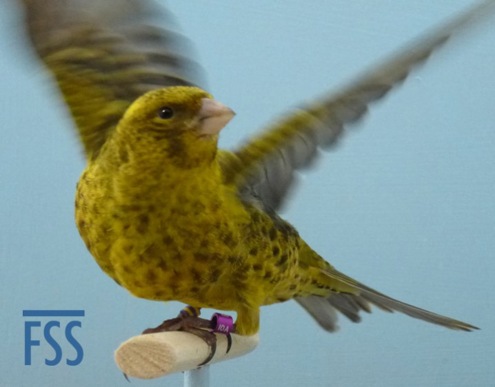 Broken cap gold cock Lizard canary