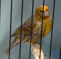 Broken cap silver cock Lizard canary-David Newton