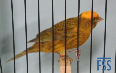 Clear cap gold cock Lizard canary-David Newton