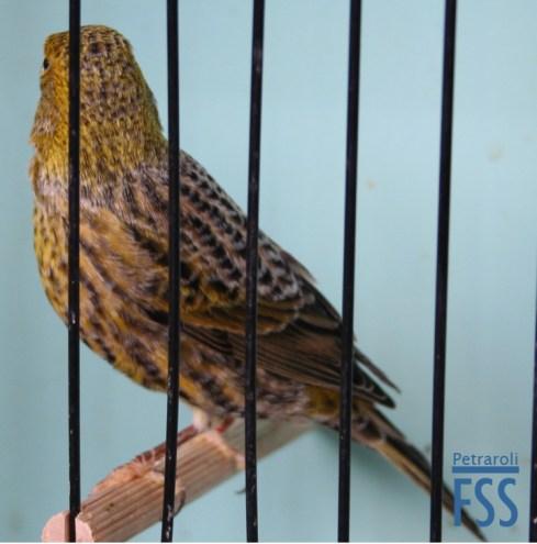 Best non cap silver cock Lizard canary-Furio Coppellii