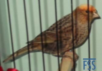 Clear cap silver hen Lizard canary-David Newton