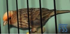 Clear cap silver hen Lizard canary - Stan Bolton