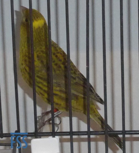 Broken cap gold hen Lizard canary from Jules Etienne