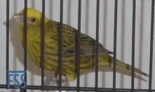 Clear cap gold hen Lizard canary from Alfonso Fernandez