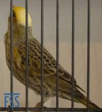 Clear cap silver hen Lizard canary from Giorgio Massarutto