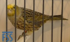 Clear cap silver hen Lizard canary from Stefan Sonntag