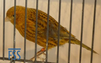 Non cap gold hen Lizard canary from Stan Bolton