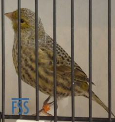 Non cap silver hen Lizard canary from Jac Gubbels