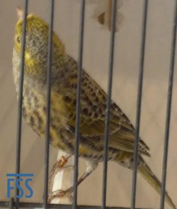 Non cap silver hen Lizard canary from Vincent Coquet