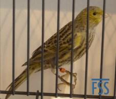 Non cap silver hen Lizard canary from Jac Gubbels