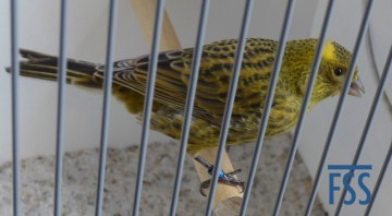 Broken cap gold hen Lizard canary