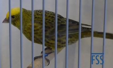 Clear cap gold hen Lizard canary (Fernand Moes)