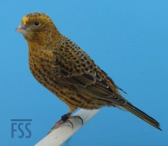 Clear cap gold hen Lizard canary (David Newton 2017)