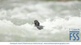 Iain Leach Harlequin duck-FSS