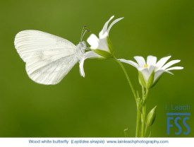 Iain Leach Wood white butterfly-FSS
