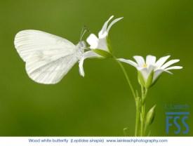 Iain Leach Wood white butterfly-FSS