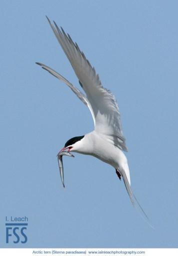Iain Leach arctic tern-FSS