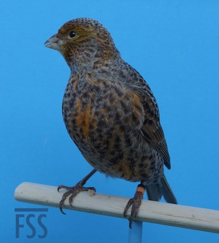 David Newton Lizard canary
