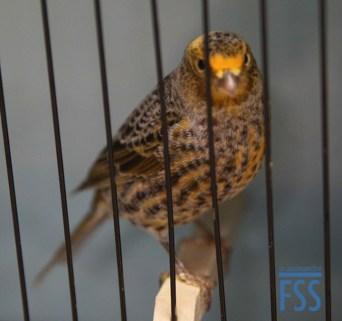 classic Lizard canary