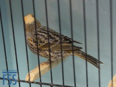 Clear cap silver hen Lizard canary (colour-fed) by Carlos de Santa Anna