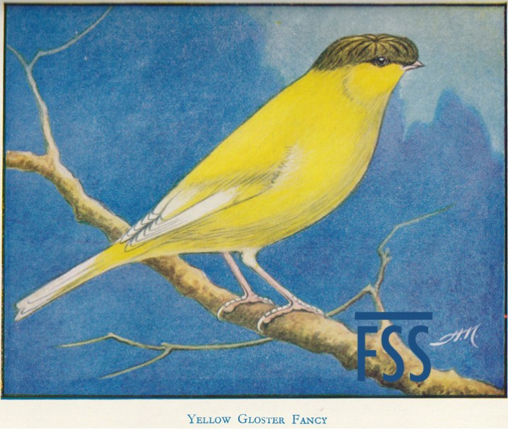 Gloster canary history