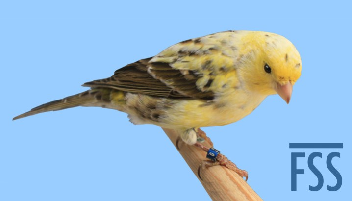 Mealy London Fancy canary (Andy Early)