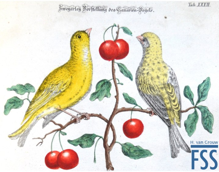 Johann Daniel Meyer canaries from the copy held at the Natural History Museum, Tring.